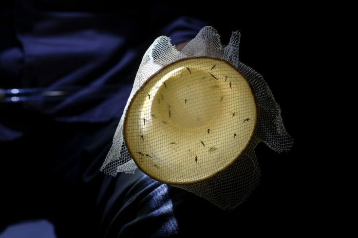 Mosquitos Anopheles recolectados para su posterior estudio, con el fin de diseñar estrategias eficaces para el control vectorial y la prevención de la malaria. Venezuela. Agosto de 2021